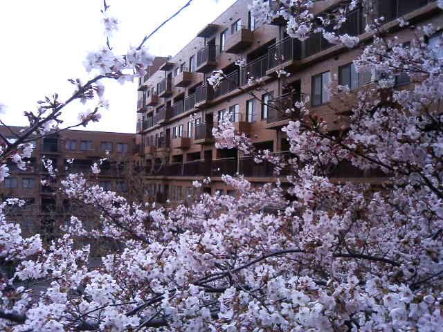 マンション敷地の桜。