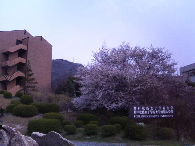 近くの女子大の桜。