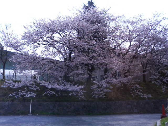 近くの神戸大の桜。